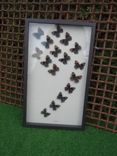 Artistic display of Exotic Butterflies in de-luxe framing - 31 x 51cm