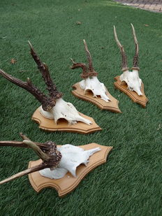 Collection of fine Roebuck trophies - Capreolus capreolus - 20 x 12 x 15cm  (4)