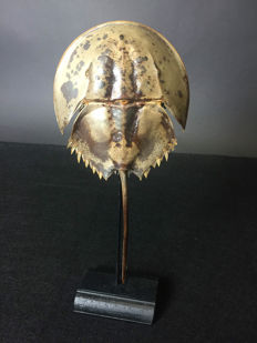 Mangrove Horseshoe Crab on walnut display stand - Carcinoscorpius rotundicauda - 29 x 10 x 6cm