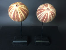 Pair of Common Sea Urchins on walnut bases -Echinoidea sp. - 33 x 12 x 8 cm (2)