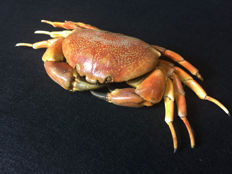 Interesting preserved Madagascan Crab - Carpilius sp. - 33 x 14 x 7 cm