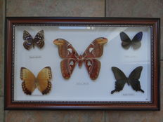 Exotic Butterflies, with Atlas Moth in de-luxe framing - 48 x 29cm