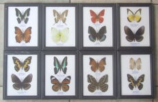Fine Lot of colourful Exotic Butterflies - 17,5 x 13,5cm (8)