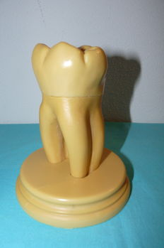 Large anatomical model of a molar