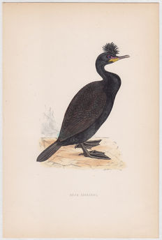 Thirty - two ornithological prints by Benjamin Fawcett (1808-1893) from Morris'  'a History of British Birds' - 1870