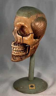 Exceptionally rare anatomical model of the human head, very high quality.