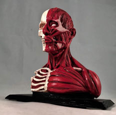 Anatomical model of the human head and upper torso, very high quality. A unique hand-made piece!