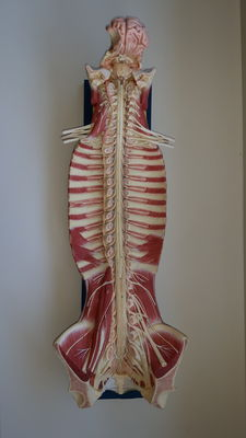 Anatomical model of the human spine