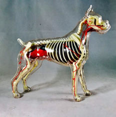 Anatomical model of a dog - open work