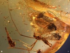 Baltic Amber wonderful crane fly and more things inside