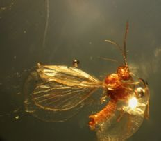 Baltic Amber Fly Diptera