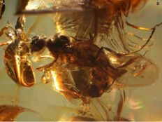 Baltic Amber winged Ant