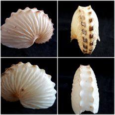 """Paper Nautilus' - Knobby Argonaut - fine set of Shells - Argonauta nodosa - 50, 53 and 57mm  (3)"