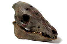 Carved jungle boar skull - Atoni - West Timor - Indonesia