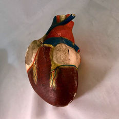 Anatomical model of the human heart made around 1920.