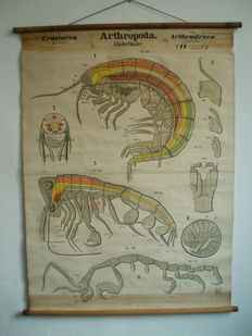Antique school poster Lobster by Dr. H. Leuckart 1822-1898 and Dr. Nitsche 1845-1898 Zoological wall scenes