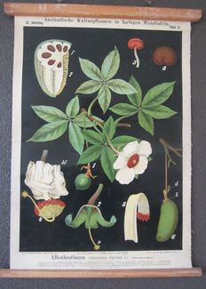 C. Bollmann - Botanical Education Poster: Affenbrotbaum - 1897