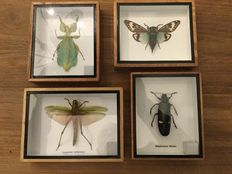 Collection of Exotic Insects - Grasshopper, Cicada, Wood-boring Beetle  and Walking Leaf Insect - 12,5 x 15 and 13, 17,5cm  (4)