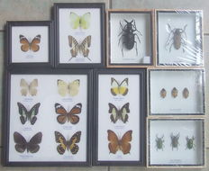 Exotic Beetles and Butterflies in black display frames - 12, 17,5 and 25cm  (8)