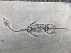 Swimming reptile - Keichousaurus hui - 12,5 cm (13,8 cm in stretched position)