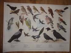 Beautiful complete series of 12 school posters by H.J. Slijper with more than 300 birds that live in The Netherlands.