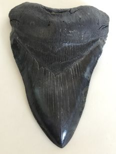 Carcharocles Megalodon Tooth 5,77 inch