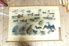 Nice rollable linen school poster by H.J. Slyper: Reed and water birds