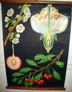 Old Italian Botanical school wall chart, 1930 and 1957, set of two
