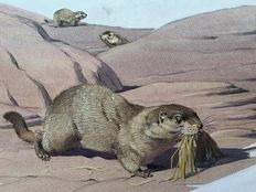 "Neave Parker (1910-1961) - Original illustration ""Alpine marmot"" - early 1950s"