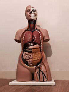 Large anatomical model of a torso and head. Life size!