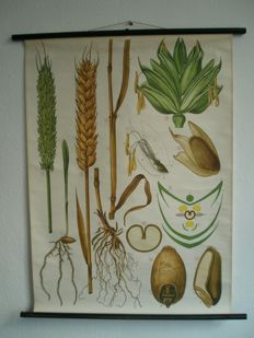 Beautiful school poster of wheat (Weizen) by Dr. Neues,