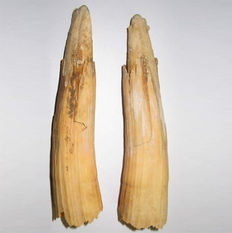 Two intact Tusks of a Baby Woolly Mammoth - Mammuthus Primigenius - 13 cm