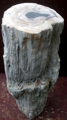 Trunk of petrified wood - 54,5 cm - 15 kg