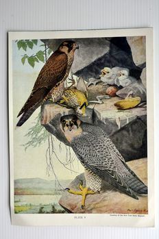 17 ornithological prints by Agassiz Fuertes (1874 - 1927) - Birds of New York, 1910