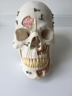 10-part anatomical model of the human skull, for dentistry