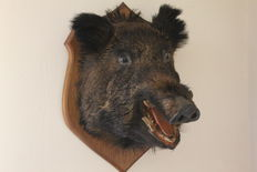Mounted large wild boar's head on wall shield