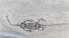 Swimming reptile - Keichousaurus hui - 21.1 cm (24 cm in stretched position)