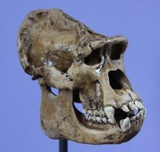Gorilla-type, replica Great Ape skull on pedestal - 13 x 14cm