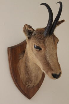 Mounted gemsbok head with small horns on plaque.