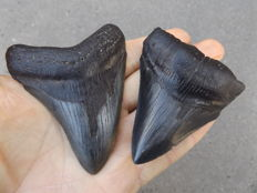 Fossil shark teeth - Carcharodon megalodon - 8.5 and 7.7 cm (2 pieces)