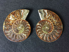 Fine pair of sectioned ammonite cleoniceras - 11x9x2 cm each