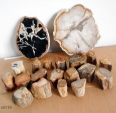Collection of petrified wood;  2 slices 16.5 and 19 cm and top-polished stems 3.5 to 5.5 cm - 4.1 kg