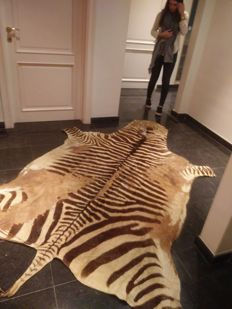 Taxidermy - extra large Burchell's Plains Zebra skin - Equus quagga burchellii - 300 x 200cm