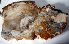 Slab of petrified wood - length approx. 38 cm