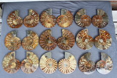 Nine Ammonites Cleoniceras sp. - 122 to 133mm -  3750 grams (9)