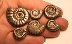 Group of 6 mixed species -  Promicroceras, Tropidoceras, Crucilobiceras - Iron Pyrite Ammonite fossils 33mm - 17mm