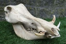 Nicely patinated African Warthog skull - Phacochoerus africanus - 33 x 21 x 20cm