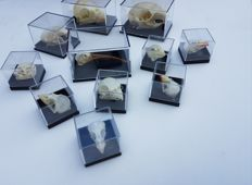 Collection of various skulls in acrylic cases -  Mammal, reptile and avian - 5.5 x 4cm and 2.5 x 2.5cm  (11)