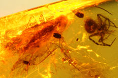 Caddisfly and ball spider in Dominican Amber - 1cm