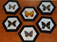 Nice set of fine Exotic Butterflies in six-sided de-luxe display cases - 17.5 x 20cm  (6)